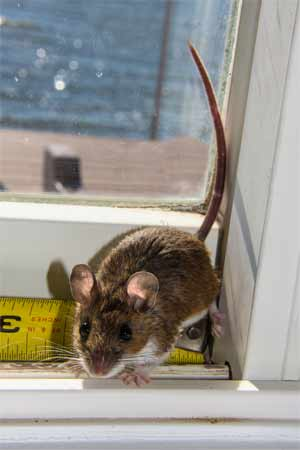 Home remedies for rodent control