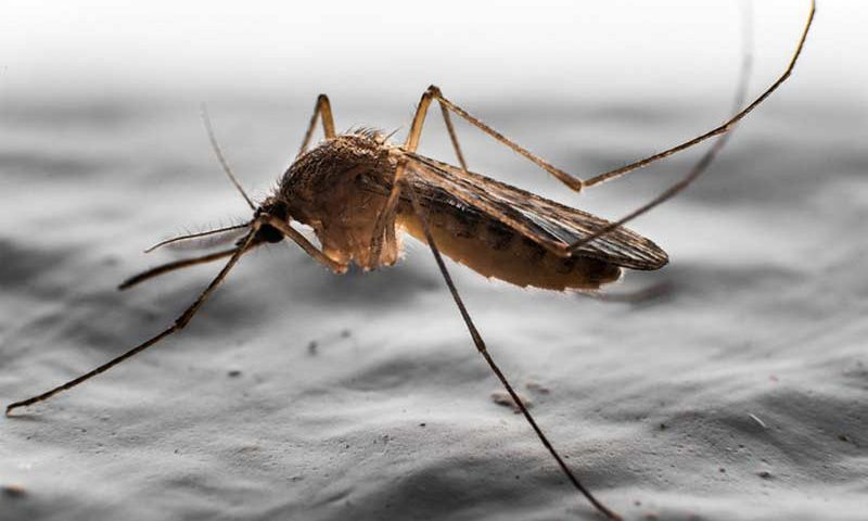 What does a Male Mosquito Look Like