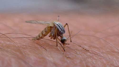 How is the antenna different in male mosquito