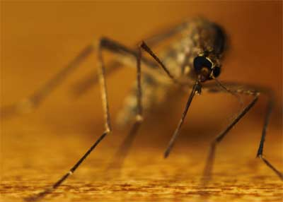 Why male mosquitoes avoid human blood